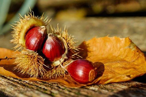 chestnut-1784282__340