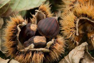 Chuť kaštanů patří k podzimu